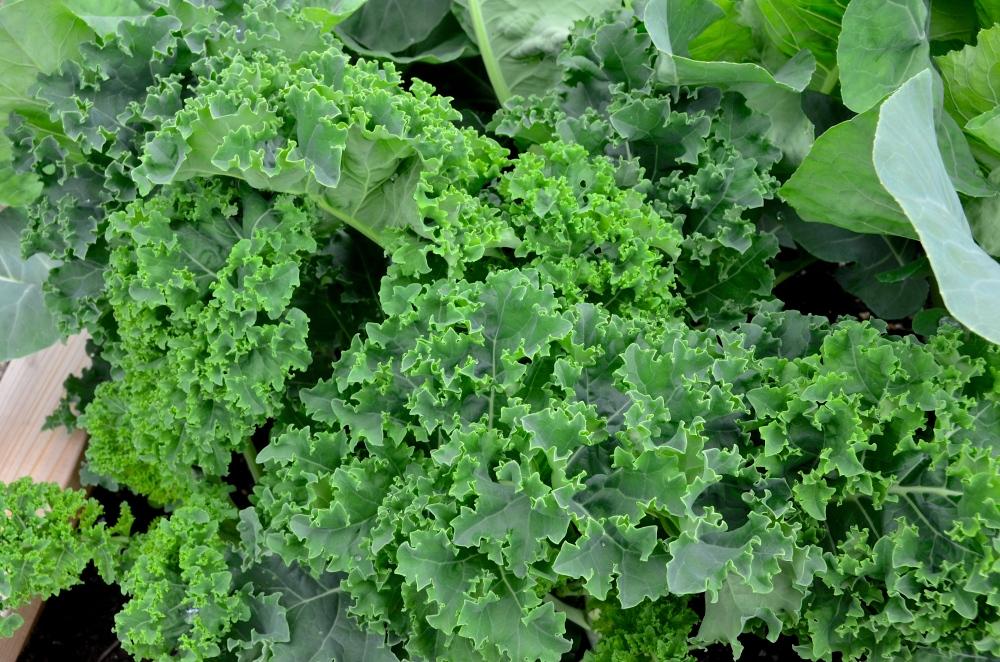 Abundance of Kale...