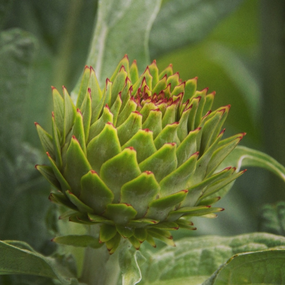 One of many artichokes