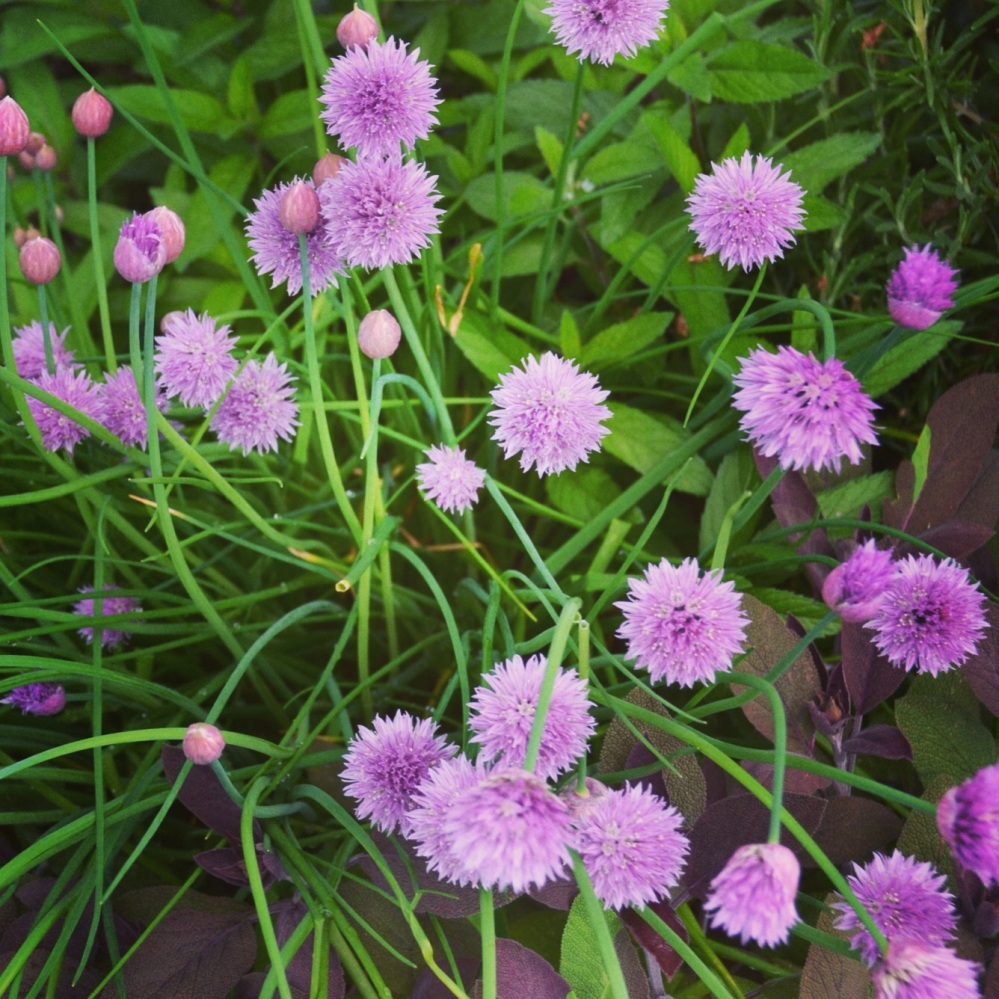 We have been using these beautiful chives a lot lately in our new italian pasta dish